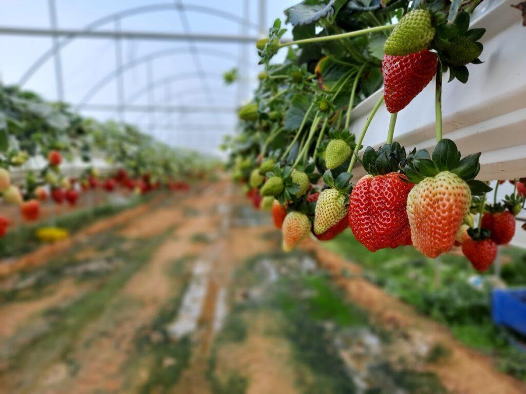 תות השני – קטיף עצמי של תותים